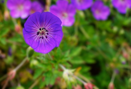 Purple Geranium single flower with green leaves and other flower background