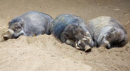 Three sleeping Sleeping North Sulawesi babirusa, an Indonesian pig Imagens