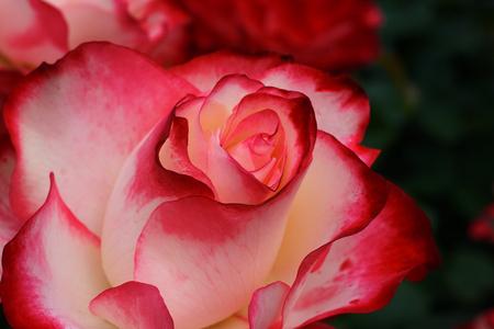 Macro close up of a Crimson White Rose Banco de Imagens - 22427003