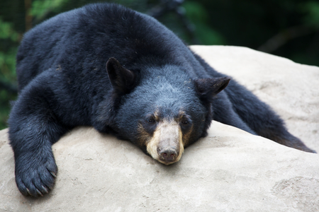 Sleeping Black Bear stretched out on a rock