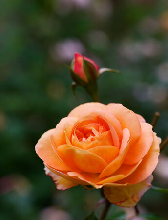 Orange rose with red bud and soft focus green plant background