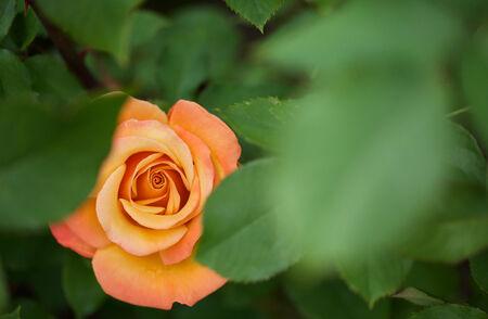 Beautiful flame red orange rose hidden between green leaves Banco de Imagens - 29655335