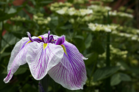Purple and White Iris with a blurred green background Banco de Imagens