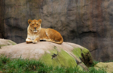 Lioness watching from a large boulder with stone background and leading edge grass Banco de Imagens - 29655350