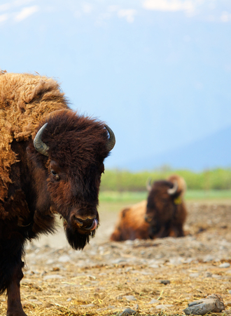 Two Buffalo in a pasture one close and the other in soft focus