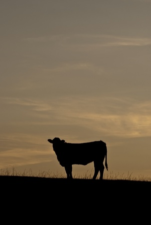 Steer on a hill silhouetted against the sunset Stock Photo