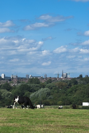 View of cattle in a field with a city skyline