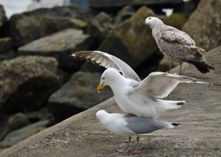 Pair of Seagulls mating on a harbour wall