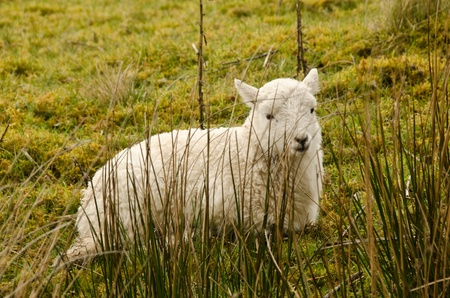 Lamb tries to hide behind some reeds