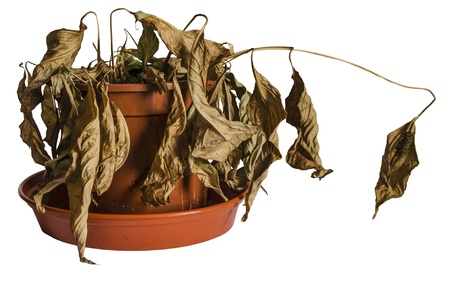 Dead and Shrivelled Spathiphyllum Plant in Plant Pot Stock Photo