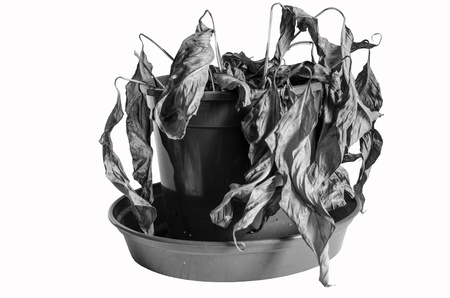 Black and White Image of a Dead Spathiphyllum Plant