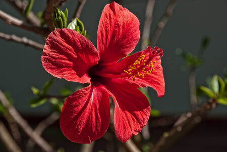 Red Hibiscus Flower fully open Stock Photo