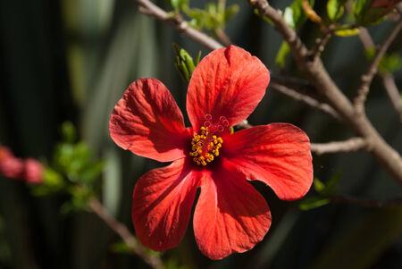 Red Hibiscus Flower full face