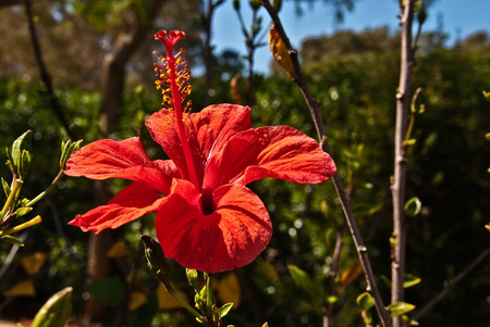 Red Hibiscus Flower pointing at the sun Stock Photo