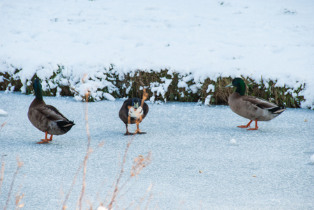 Three unhappy ducks on a frozen canal Stock Photo