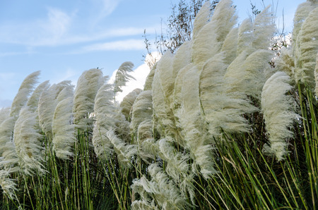 Pampas Grass Blown by the Wind