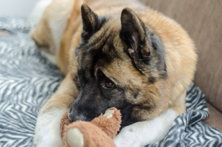 An American Akita dog rests on a settee with his teddy bear friend