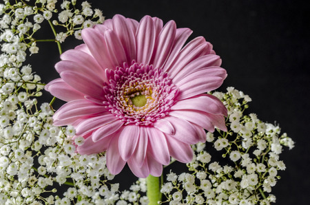 Gerbara flower with Gypsophila backing.