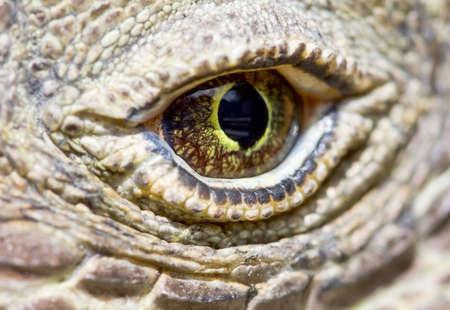 lizzard: Komodo dragon eye