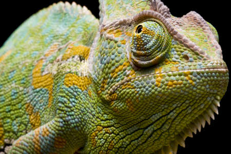 Close up of a YemenVeiled Chameleon on a branch against a black background photo