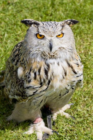 Eagle Owl staring up from the ground against a green grass background
