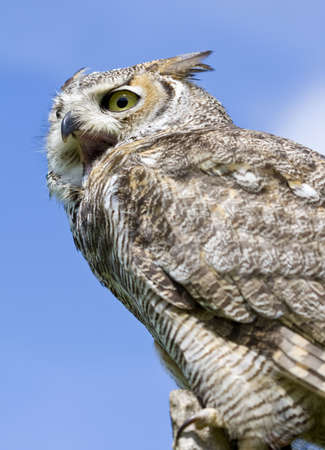 squawk: Eagle Owl from a low angle against a blue sky Stock Photo