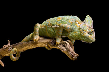 chameleon lizard: Close up of a YemenVeiled Chameleon on a branch against a black background