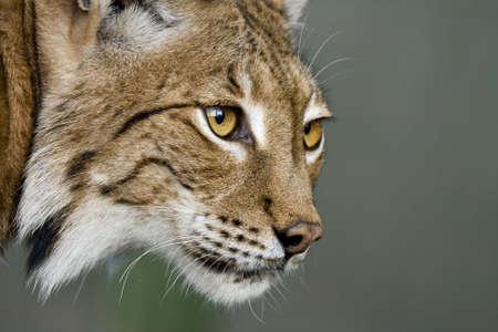 felidae: Lynx
