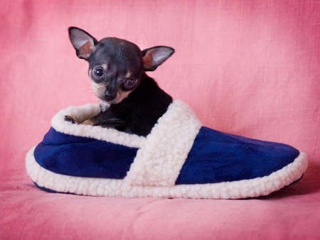 pet photography: Chihuahua puppy in slipper. Stock Photo