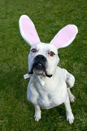 Funny Easter dog with pink rabbit's ears.
