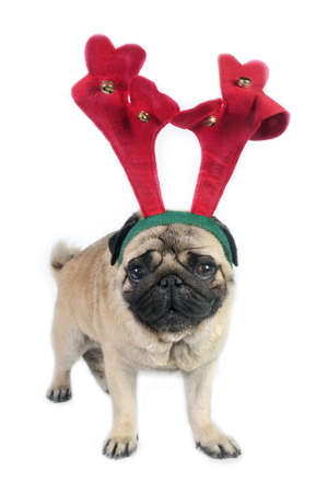 Christmas Pug dog wearing antler