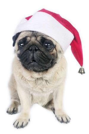 Pug dog wearing a santa hat. Stock Photo