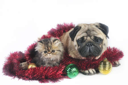 Pug dog with little Persian kitten,surrounded by Christmas ornaments