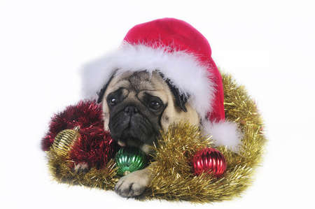 Pug dog wearing a santa hat,surrounded by Christmas ornaments. Funny expression. photo