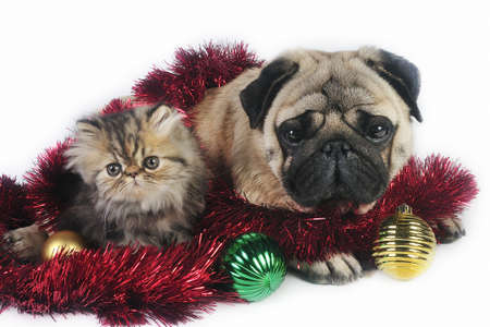 Pug dog with little Persian kitten,surrounded by Christmas ornaments.