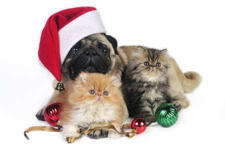 Pug dog wearing Santa hat with two little Persian kittens, surrounded by Christmas ornaments. photo