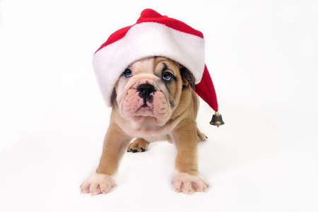 Cute English bulldog puppy wearing a santa hat.