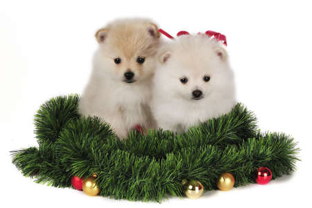 pomeranian: Two Pomeranian puppies,surrounded by Christmas Ornaments. Stock Photo