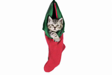 Sweet little British Shorthair kitten in Christmas socks.
