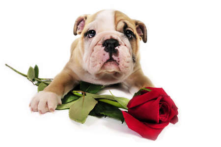 English bulldog puppy with valentine rose in front of a white background.