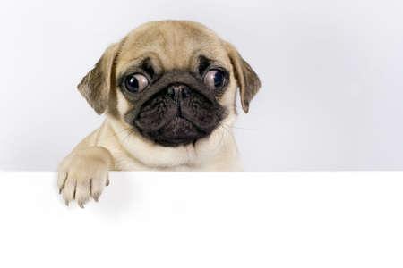 Cucciolo di Carlino carino su sfondo bianco con spazio per il testo.