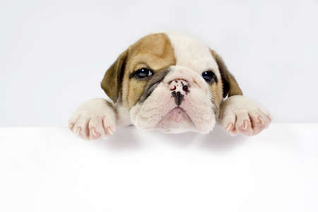 English Bulldog puppy in front of white background with space for text.