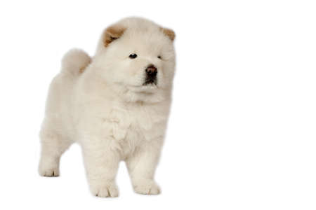 Chow-chow puppy in front of a white background.