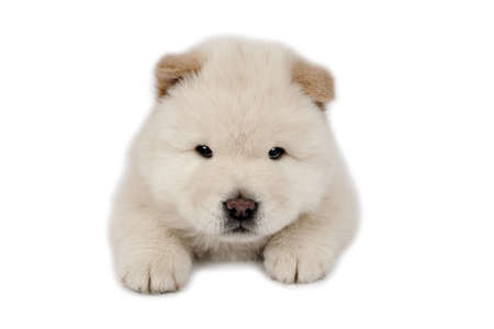 Chow-chow puppy on a white background.