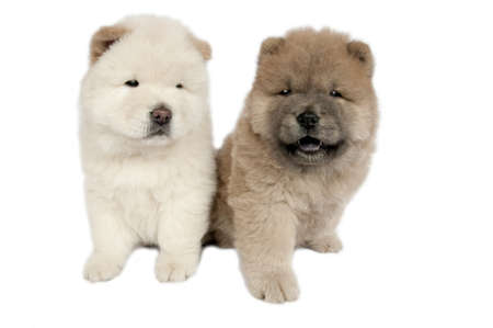 Two Chow-chow puppies in front of a white background.