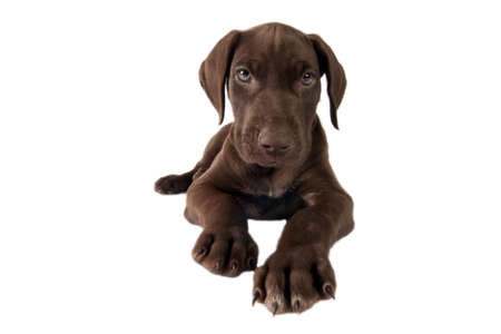 shorthaired: German shorthaired pointer  on white a background  Stock Photo