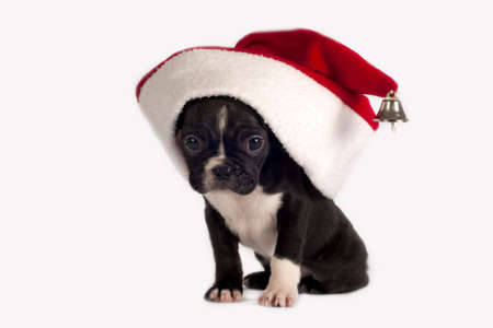 Cute French Bulldog puppy with Santa hat on a white background.