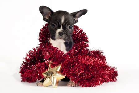Cute French Bulldog puppy with Christmas ornament on white background .
