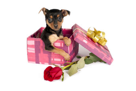 pincher: Cute Pincher puppy in a Christmas gift box.