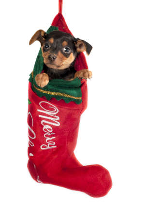 Cute Pincher puppy , hanging in a Christmas stocking.